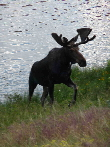 Moose at Camp Tahosa